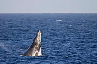 Humpback whale Megaptera novaeangliae breaching in the lower Gulf of California Sea of Cortez, Baja California Sur, Mexico