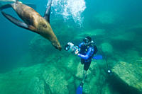 California sea lion Zalophus californianus with SCUBA diver underwater at Los Islotes the islets just outside of La Paz, Baja California Sur in the Gu...