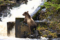 A young Brown Bear Ursus arctos fishing for pink salmon near the salmon weir at Pavlof Harbor on Chichagof Island in Southeast Alaska, USA Pacific Oce...