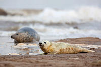 Grey Seal Halichoerus grypus pup wet at edge of sea with mother in background November Donna Nook, Lincolnshire, UK MORE INFO This pup still has its w...