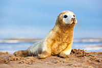 Grey Seal Halichoerus grypus young pup in white lanugo coat with sand stuck to it November Donna Nook, Lincolnshire, UK