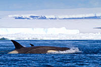 A small pod of 8 Type B killer whales Orcinus nanus in pack ice near Snow Hill Island Island at 648 26 1S 568 42 9W in the Weddell Sea, Antarctica, So...