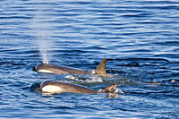 A large pod of 25 to 45 Type B killer whales Orcinus nanus in Paradise Bay at 64ø 48 6S 63ø 02 6W, Antarctica, Southern Ocean MORE INFO These animals ...