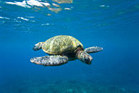 Adult green sea turtle Chelonia mydas in the protected marine sanctuary at Honolua Bay on the northwest side of the island of Maui, Hawaii, USA MORE I...