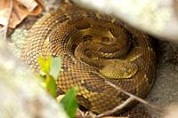 Timber Rattlesnakes, Crotalus horridus, northeastern United States  Venomous pitvipers, widely distributed throughout eastern United States  Legally p...