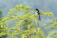 Magpie Pica pica, perched in Robinia tree, Germany