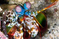 Mantis Shrimp Odontodactylus scyallarus close up Gili Islands, Lombok, Indonesia