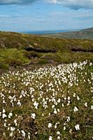 Eriophorum angustifolium peat hillside Common cottongrass bog cotton Common cottongrass SEDGES FLORA
