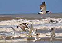 Seabirds flying at Wetland conservation area, Parque Nacional da Lagoa do Peixe, Mostardas, Rio Grande do Sul, Brazil