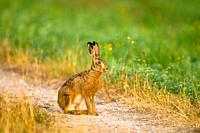 Sitting hare (Lepus capensis europaeus)