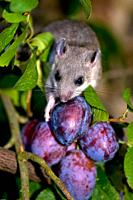Edible dormouse (Glis glis), feeding on plums, autumn, Bavaria, Germany