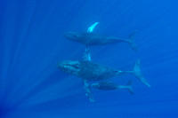 A curious cow calf and escort humpback whale Megaptera novaeangliae approach the boat underwater in the AuAu Channel between the islands of Maui and L...
