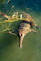 A fresh water crocodile or Johnston´s crocodile , in the Northern Territory of Australia