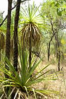 Pandanus trees, in the bush near Darwin, in the Northern Territory of Australia