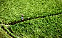 A Balinese woman walking through a rice paddy in Bali Indonesia