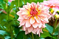 Fairway Pilot Dahlia