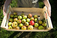 Young woman holding crate of fresh apples