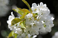 Germany, Bavaria, Close up of cherry blossom