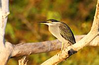 Green-backed Heron or Striated Heron, Butorides striatus, sitting on branch in sunset light, The Gambia