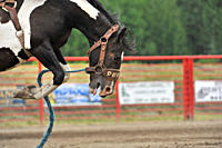 Bucking horse at a rodeo event, Alberta, Canada