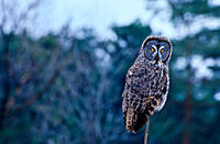 Great Gray Owl Strix nebulosa at Thickson´s Woods near Whitby Ontario