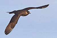 Parasitic Jaeger Stercorarius parasiticus flying