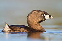 Pied_billed Grebe Podiceps grisegena in a pond