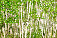 Birch groves and fresh foliage