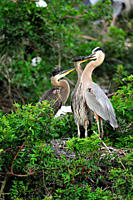 Great blue heron Ardea herodias Young in nest demanding food, Venice Area Audubon Society Rookery, Vencie, Florida, United States of America