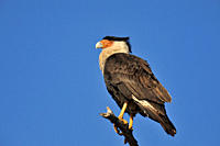Crested Caracara Caracara cheriway Sentinel near nested, Kissimmee Prairie Preserve State Park, Florida, United States of America