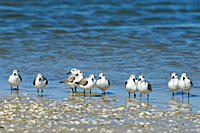 Sanderling Calidris alba Loafing on shoreline
