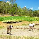 tobacco field, Pinar del Río Province, Cuba