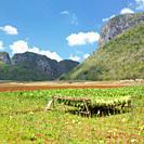 tobacco harvest, Vinales Valley, Pinar del Río Province, Cuba