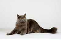 British, Longhair, Cat,