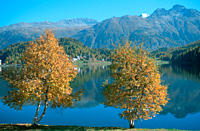 Birch, trees, in, autumn, in, front, of, Lake, St., Moritz, Engadin, Graubunden, Switzerland