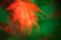Japanese, Maple, leaves,Acer, palmatum