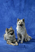 Eurasier, pair