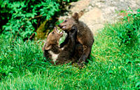 European, Brown, Bear, cubs, playing,Ursus, arctos,cub