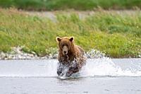 Alaska , Katmai National Park and Preserve , McNeil River Bear Viewing and Wildlife Sanctuary , Grizzly bear  Ursus arctos horribilis  , family : ursi...