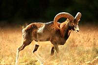 Mouflon Ovis musimon in the Sierra Mariola. Alicante