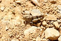Blue-winged Grasshopper Oedipoda caerulescens, France