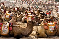 Camels resting in the Singing Sands Mountain Area,Gansu Province