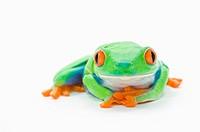 Red_Eyed Tree Frog Agalychnis Callidryas