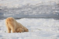 Polar Bear Ursus Maritimus Being Curious And Exploring Territory For Food, Churchill, Manitoba, Canada