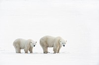 Polar Bear Ursus Maritimus Sow And Yearling Cub Walking Across The Frozen Tundra, Churchill, Manitoba, Canada