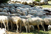 Sheep, transhumance, Esperou, Cevennes, France