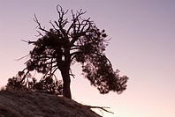 Pine silhouette at sunset