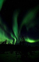 Swirling Northern Lights, Polar Lights, silhouettes of pine trees, Aurora Borealis, green, near Whitehorse, Yukon Territory, Canada