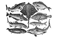 Fish  Antique illustration  1900