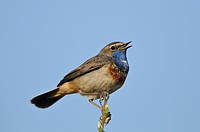 White-spotted Bluethroat (Luscinia svecica cyanecula)